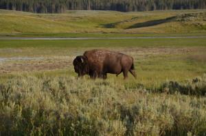 bison im yellowstone wyoming