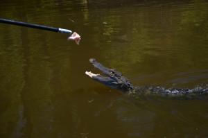 Alligatoren Swamp Tour